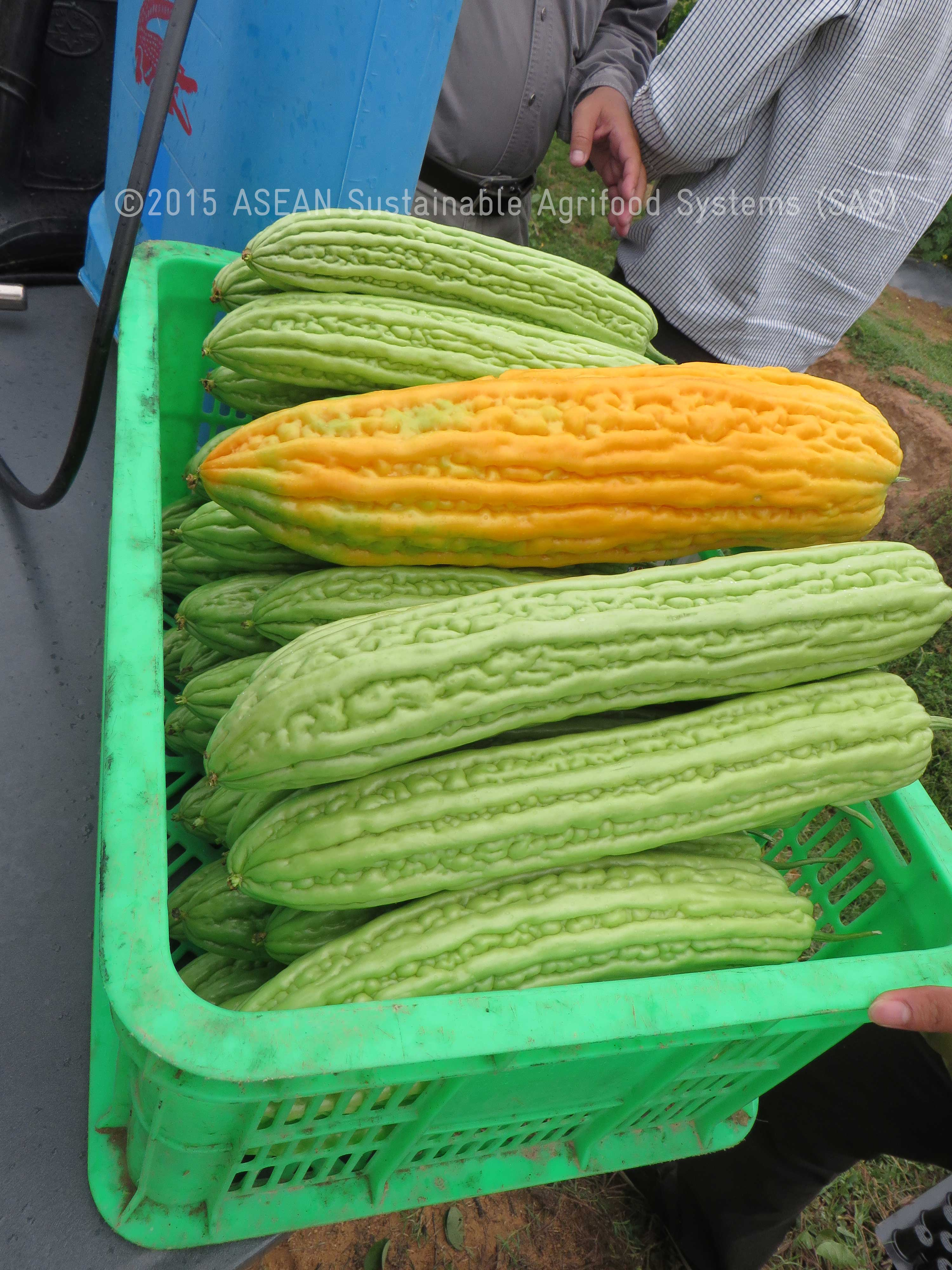 bitter gourd production Bitter gourd karela production technology: climate: bitter guard is sub-tropical vegetable and requires hot and dry climate conditions for successful cultivation crop can be grown even in place of slightly lower temperature and high rain fall areas.