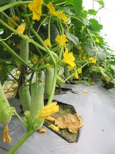 Cucumber using biocontrol products