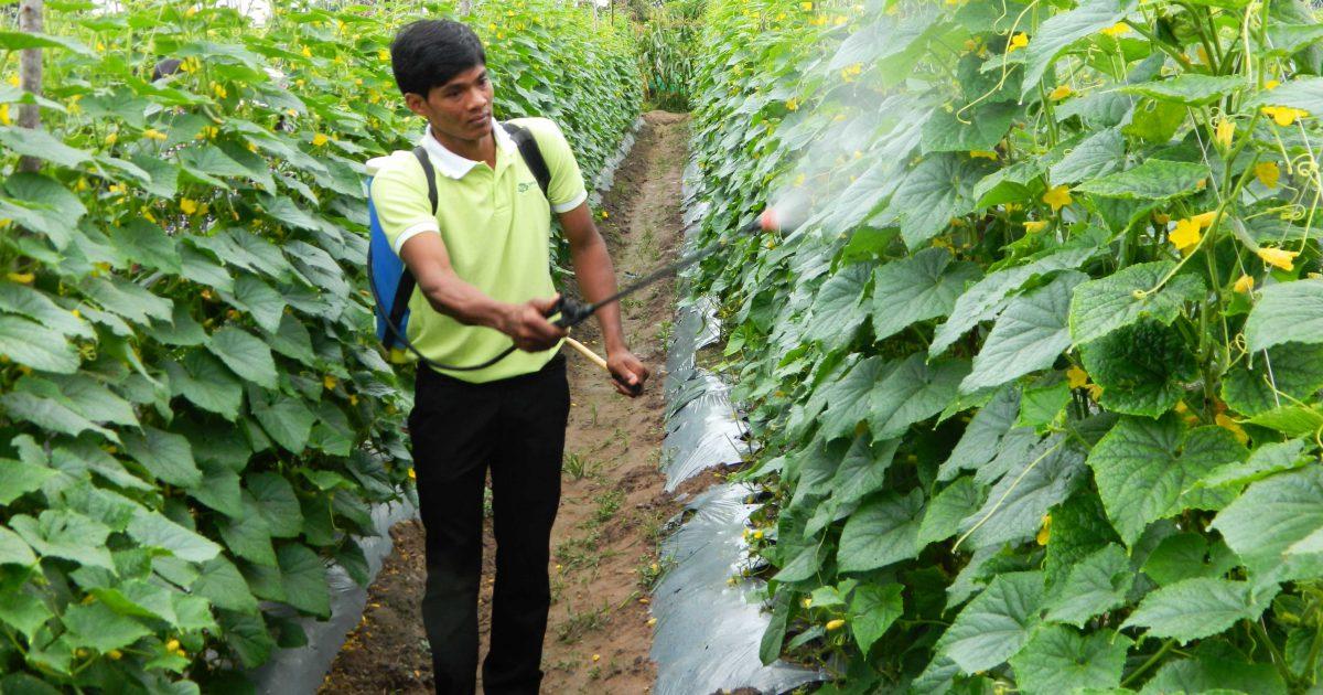 A 'Green Fungi' improves farmers' life