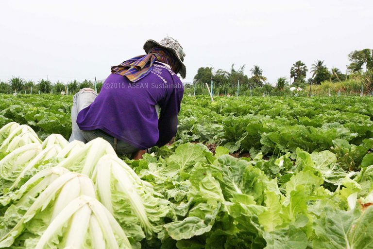 Trader hires cutters to collect vegetables at the farm
