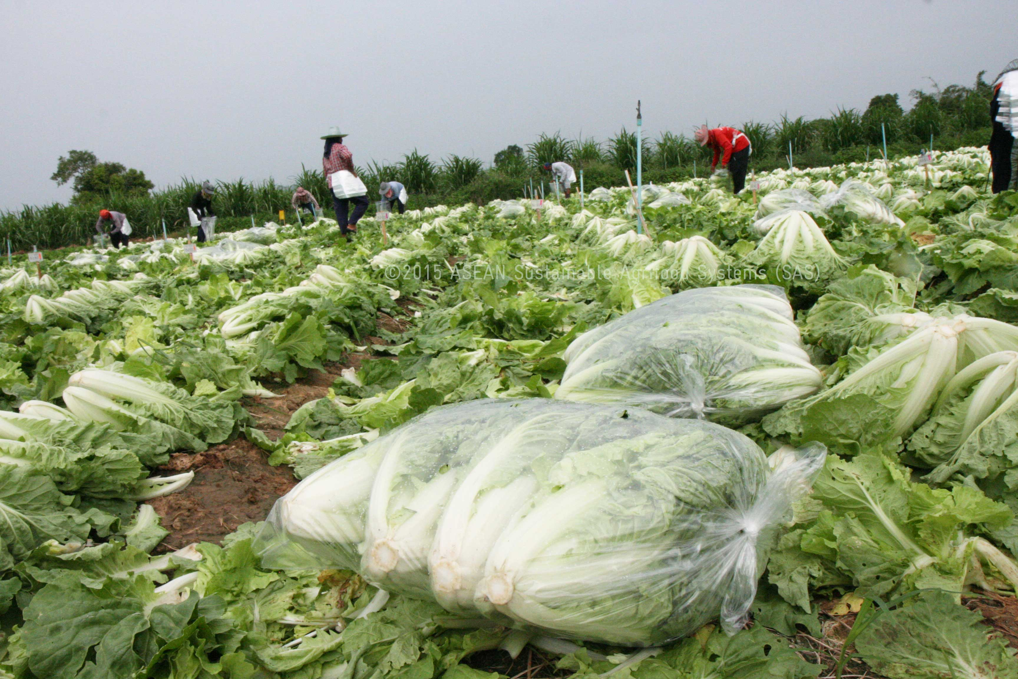 Traders offer to buy vegetable at 7 Baht per Kilo at the farm gate