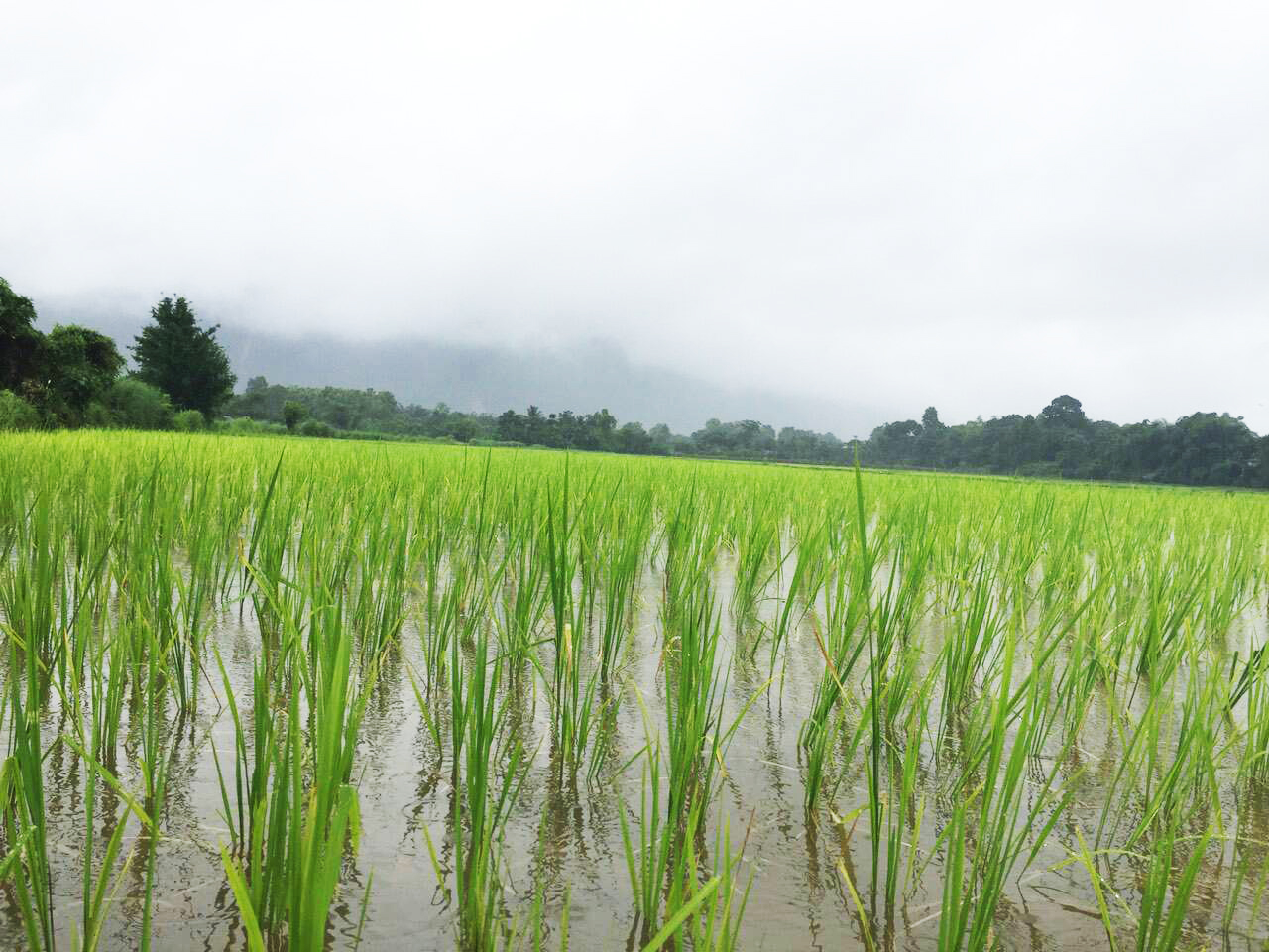 Rice field in Vang Vieng, Lao PDR