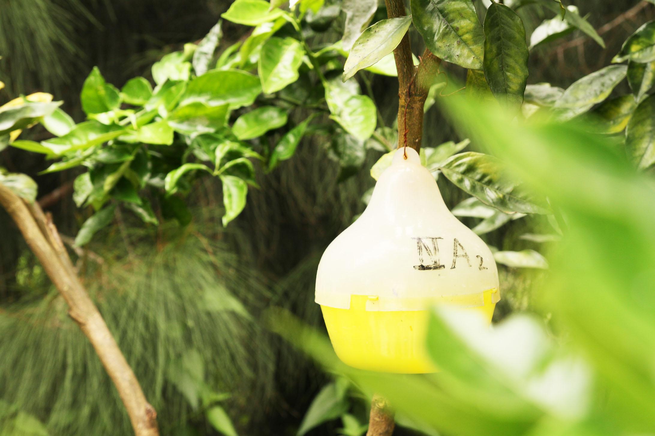 Fruitfly management in citrus