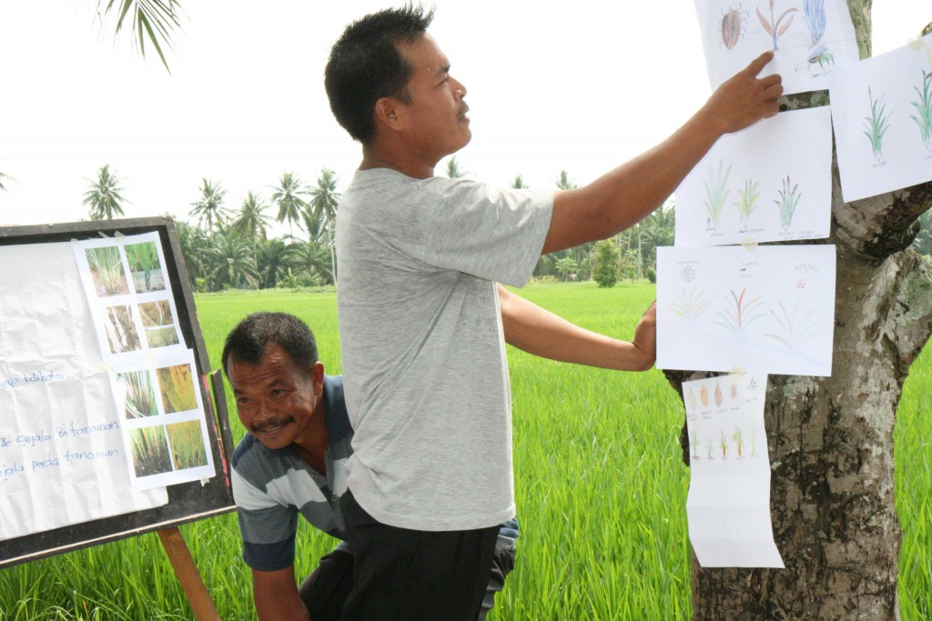 Farmers draw pictures of pest and diseases that they spot in their rice paddies and present to their classmates.