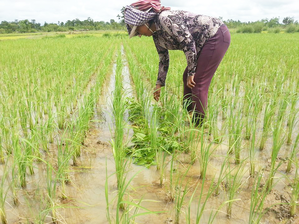 For her future plan, Ms. Sothea wants to scale up the organic production and apply biocontrol agents to her rice farming.