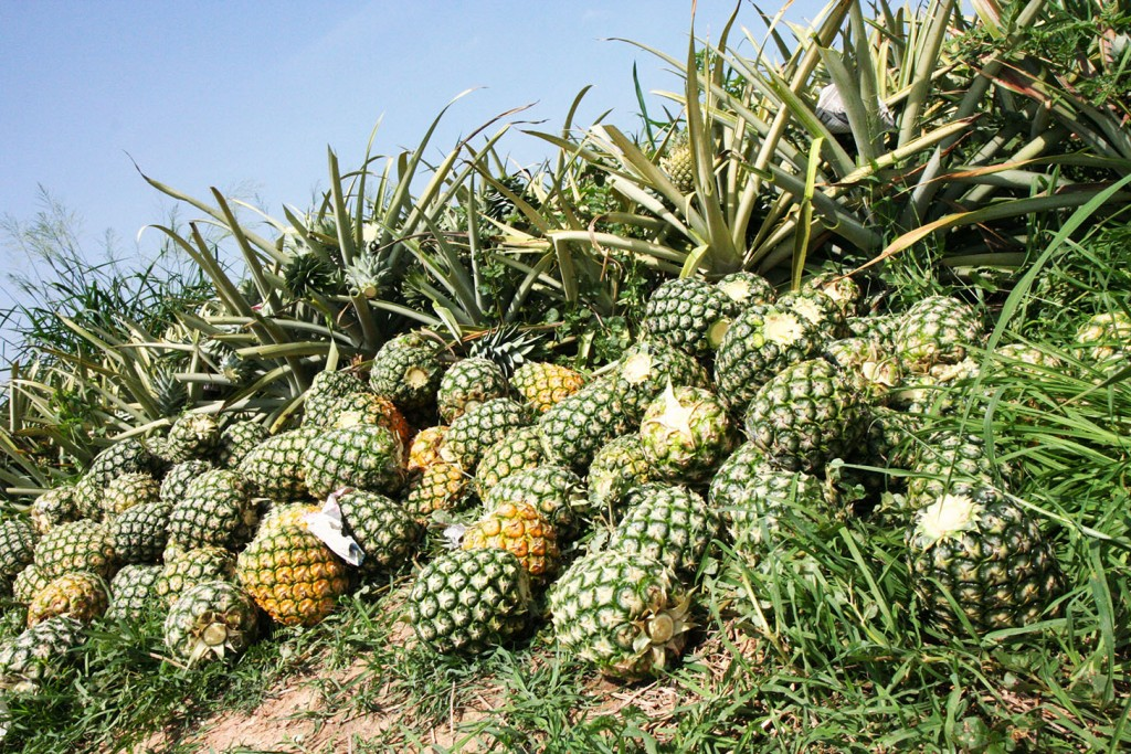 Mature pineapples will be transported to the fruit processing plant.