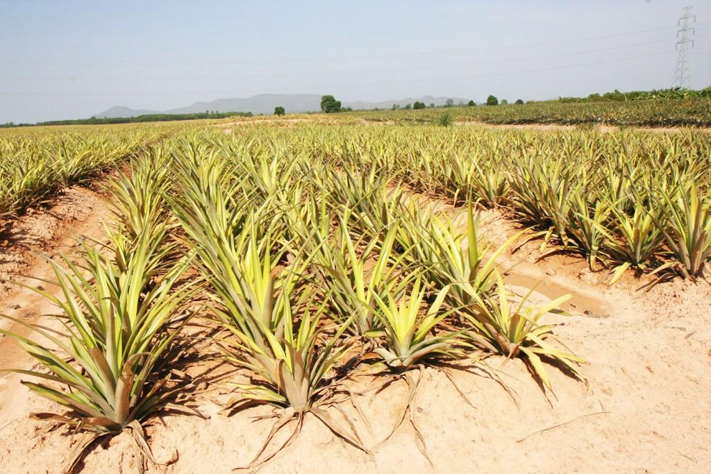 Dole pineapple field in Prachuap Khiri Khan province, Thailand