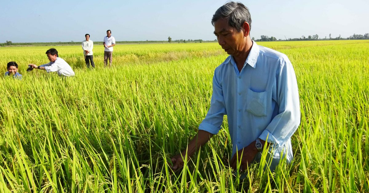Pesticide is reduced, and farmer is happy with rice yield and input saving