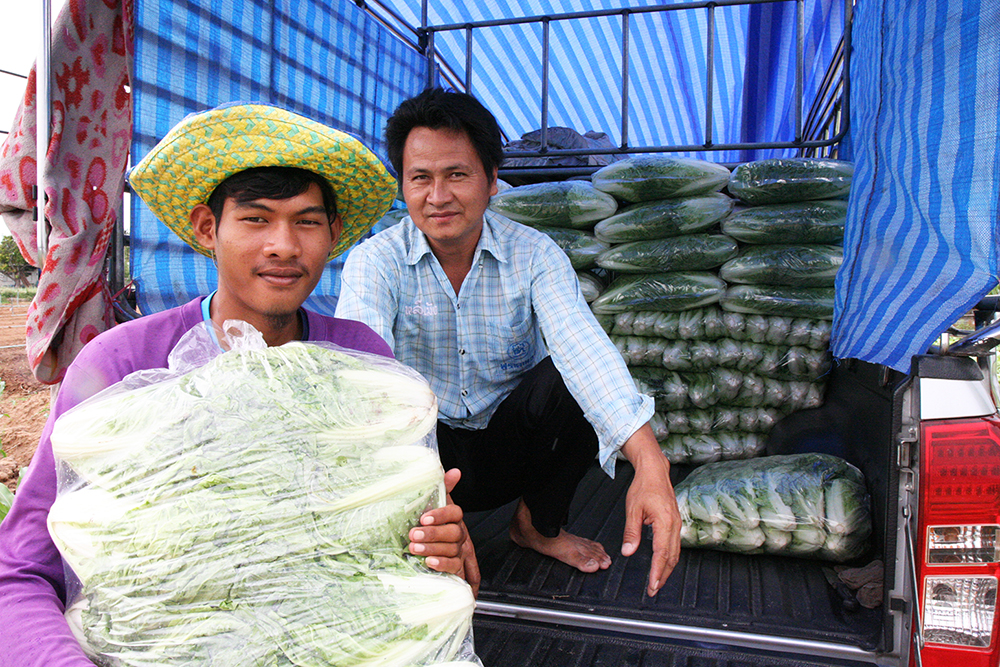 Mr. U-Tai Songsaeng, a trader who bought the Chinese cabbage at the ASEAN SAS field trials said it is hard to believe to see such a good quality vegetable without using chemicals.