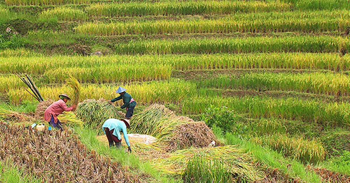 Better Rice Initiative Asia to train 7,500 farmers in Indonesia by the end of 2017
