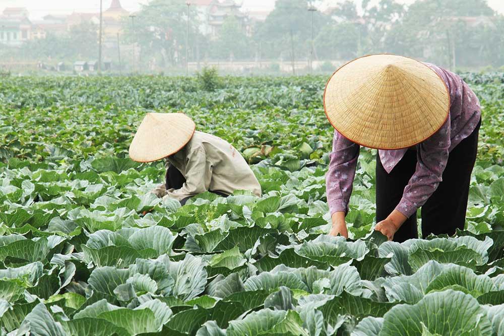 Vegetable growers in Vietnam
