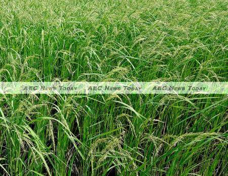 File photo: Certified organic Cambodia rice output is expected to come in at between 1,000 and 1,500 tons this year
