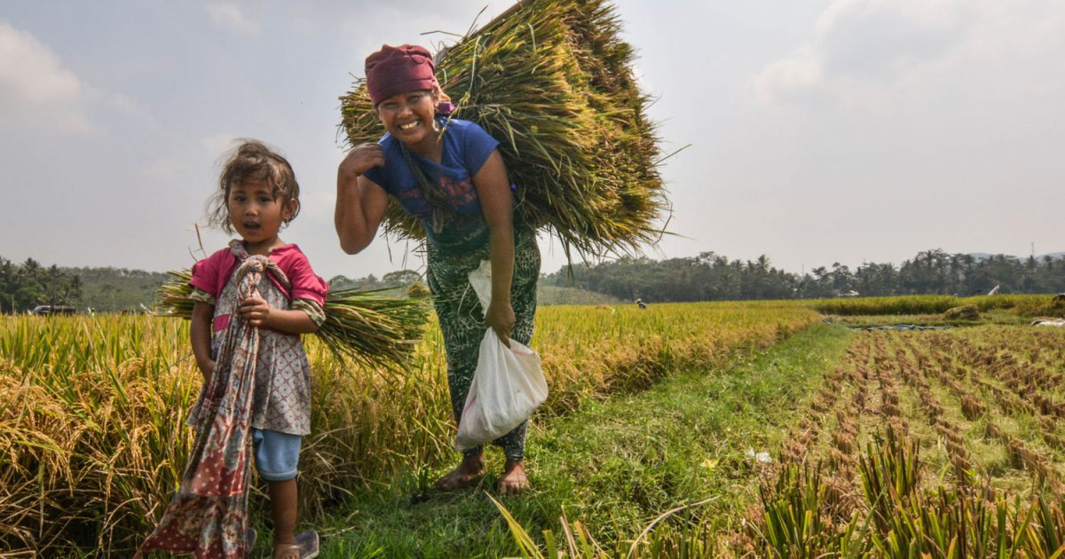 Days full of rice in Indonesia