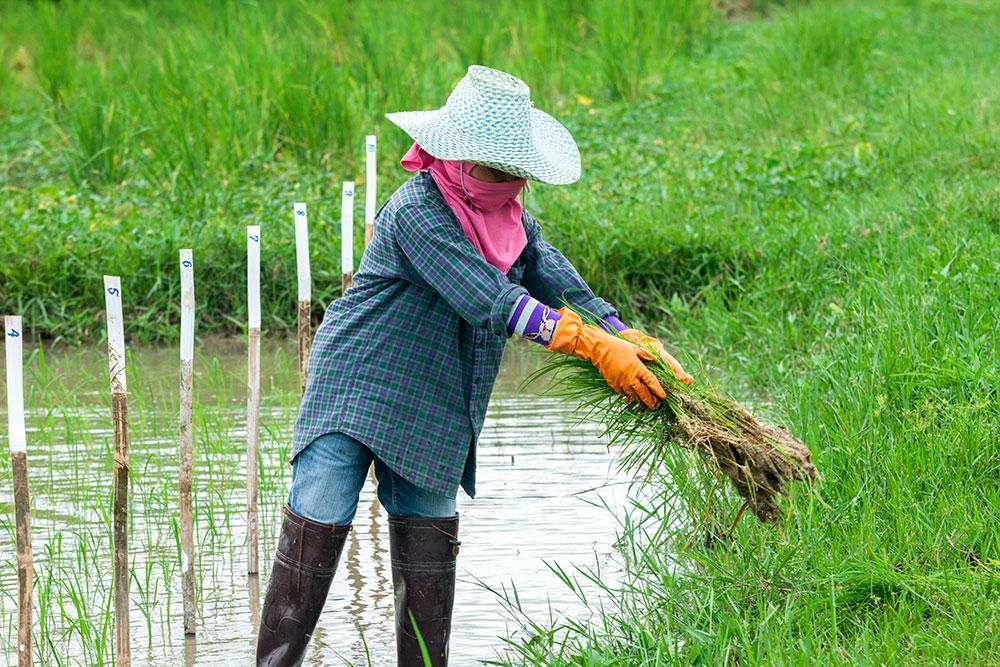 Rice farmer in Thailand