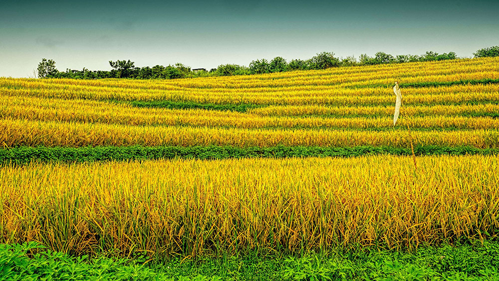 Rice field in Indonesia