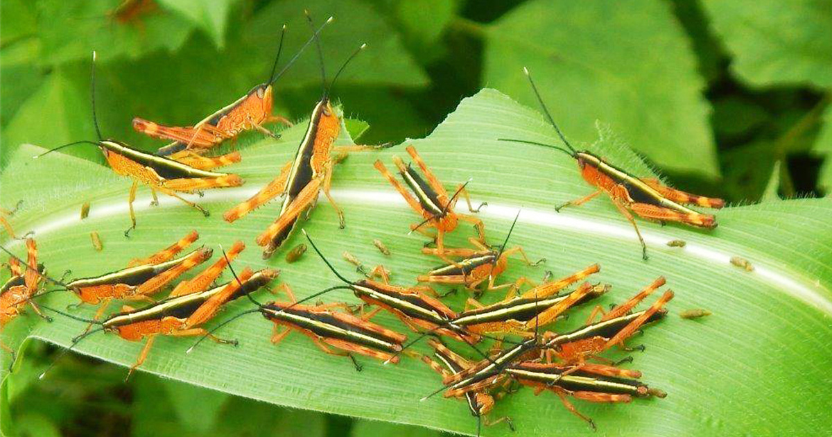 Lao to get supports from Thailand to halt the bamboo locust outbreak
