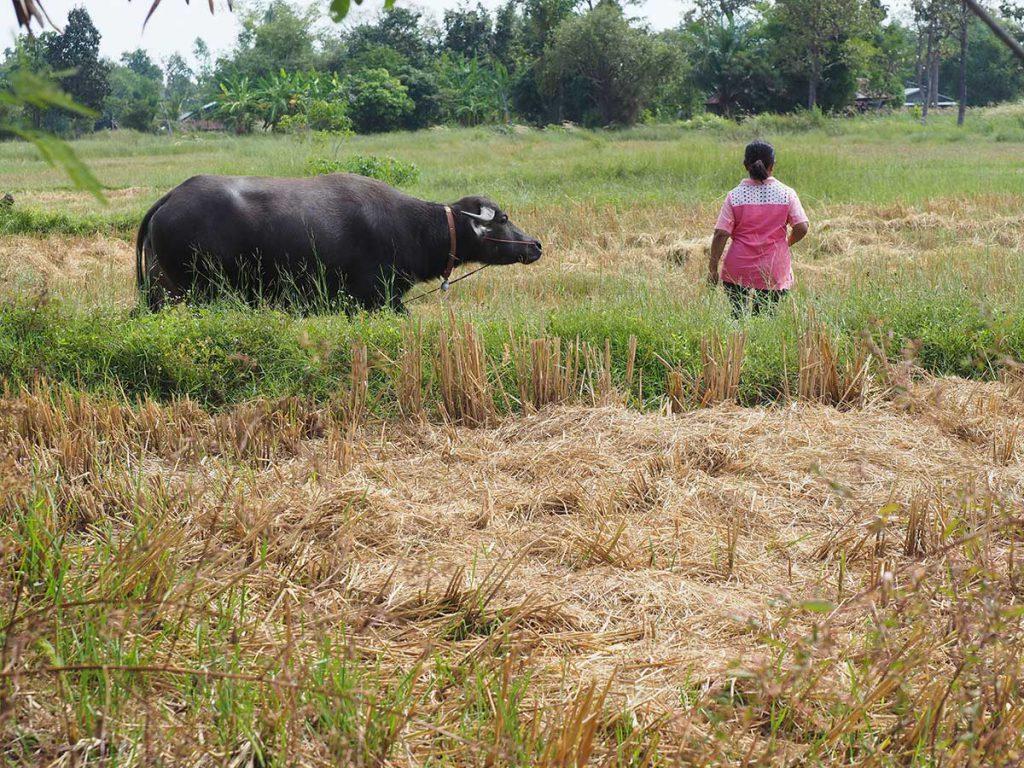 นางบุญเติม ล้วนดี เกษตรกรวัย 50 ปีกับสัตว์เลี้ยงแสนรักในทุ่งนา อําเภอนาเยีย จังหวัดอุบลราชธานี (เครดิตรูปภาพ: GIZ Thailand)
