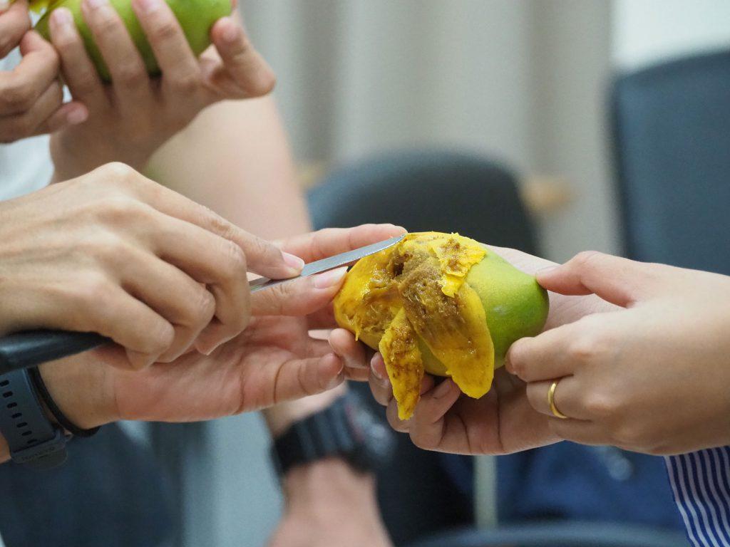 ผู้เข้าร่วมอบรมปลอกมะม่วงตัวอย่างเพื่อตรวจหาแมลงศัตรูพืช