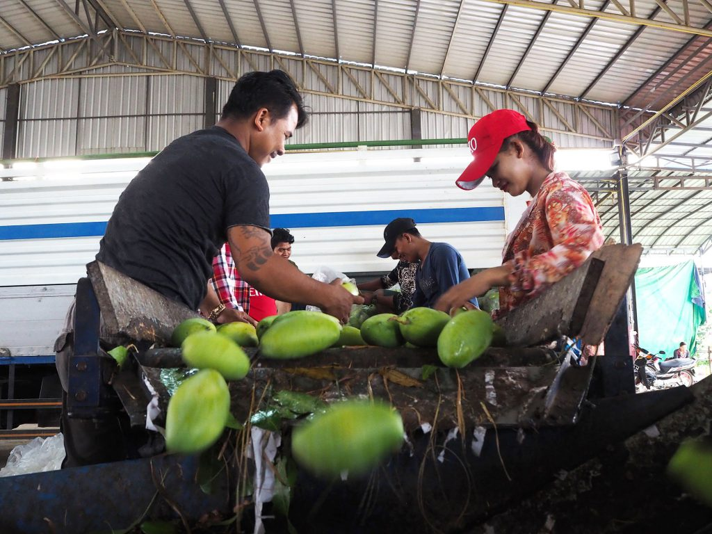 Cambodian mangoes are randomly checked at the quarantine checkpoint in Chanthaburi province, Thailand before being shifted to the processing factories. (Photo credit: GIZ Thailand)