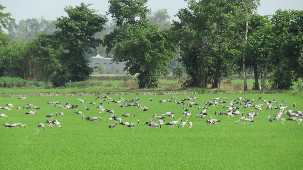 Wild birds eat snails in Mr. Thai's rice field in Dong Thap province, southern Vietnam. (Photo credit: GIZ Vietnam)