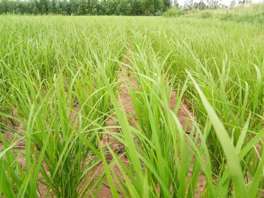 rice field in Roi Ei province