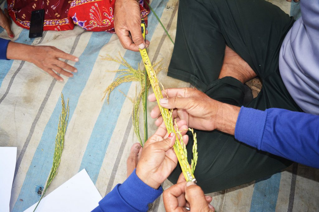 Farmers measure a panicle length and observe the quality of the seed they plant. (Photo credit: GIZ Indonesia)