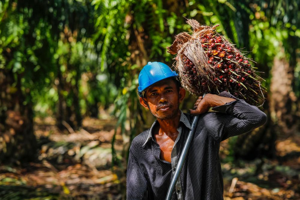 เกษตรกรรายย่อยกำลังเก็บเกี่ยวทะลายปาล์มคุณภาพจากสวนปาล์มที่ดูแลอย่างดี (เครดิตรูปภาพ: GIZ Thailand)