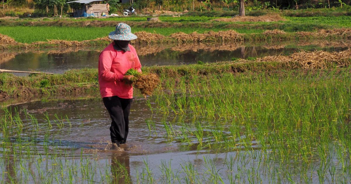 A farmer transplants rice seedling in rice field farmland in Ubon Ratchathani. (Photo credit: GIZ Thailand)