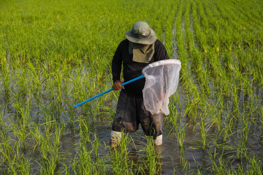ชาวนากำลังเดินสำรวจแมลงในแปลงนาของตนเอง (เครดิตรูปภาพ: GIZ Thailand)
