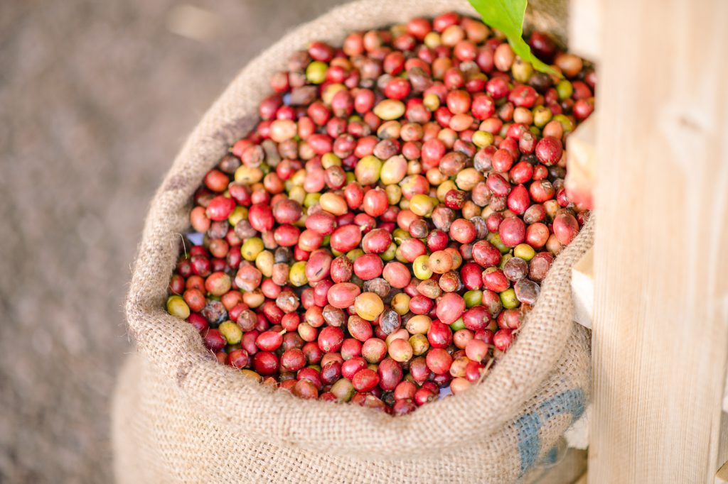 Robusta coffee cherries are widely grown in the South of Thailand. (Photo credit: GIZ Thailand)