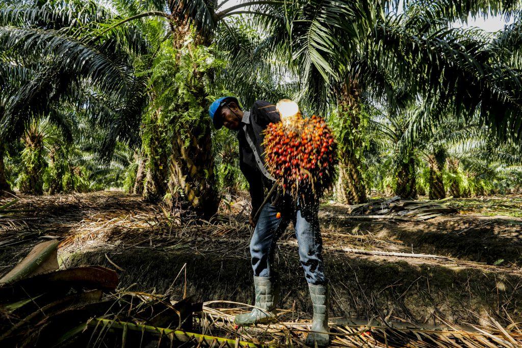 ในเมืองไทย มีเกษตรกรผู้ผลิตปาล์มประมาณ 2.4 แสนครัวเรือ มีประมาณ 79% เป็นเกษตรกรรายย่อย (เครดิตรูปภาพ: GIZ Thailand)