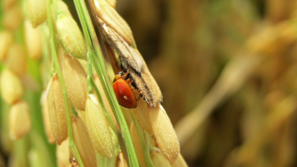 Ladybugs, also called lady beetles, are very beneficial and pest predators. (Photo credit: GIZ Vietnam)