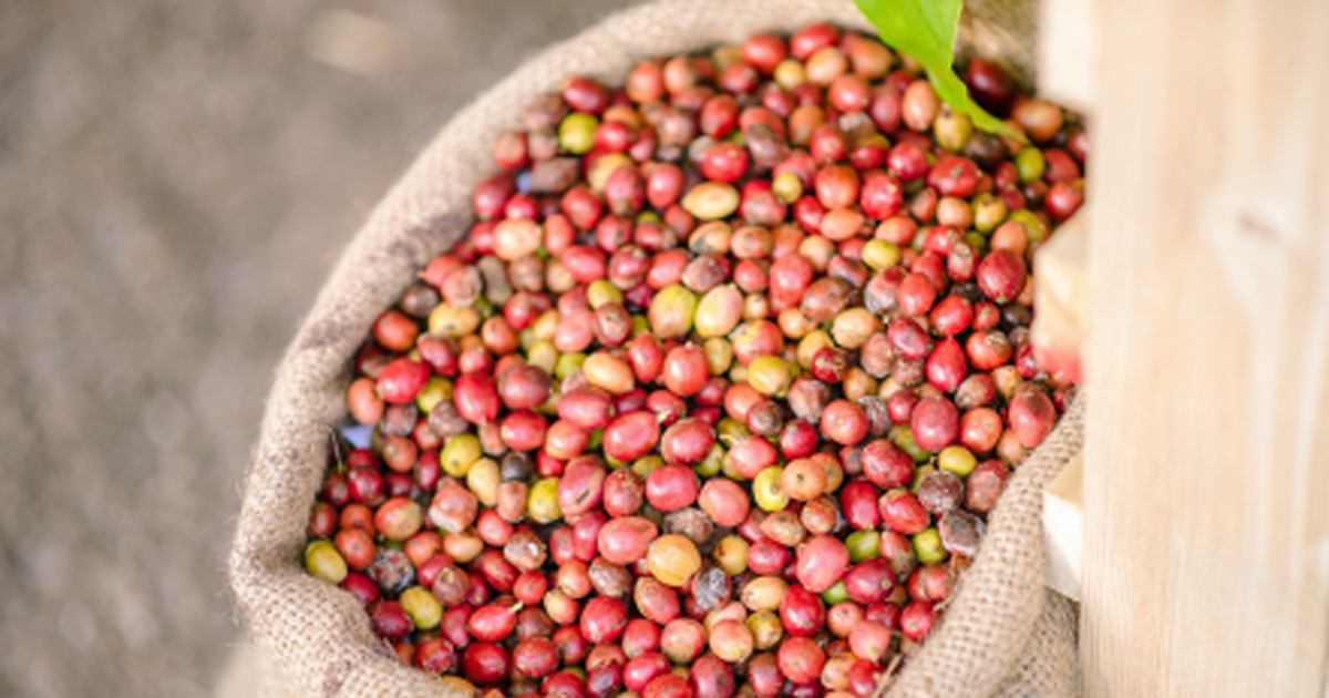 Taking Robusta coffee of Southern Thailand to another level