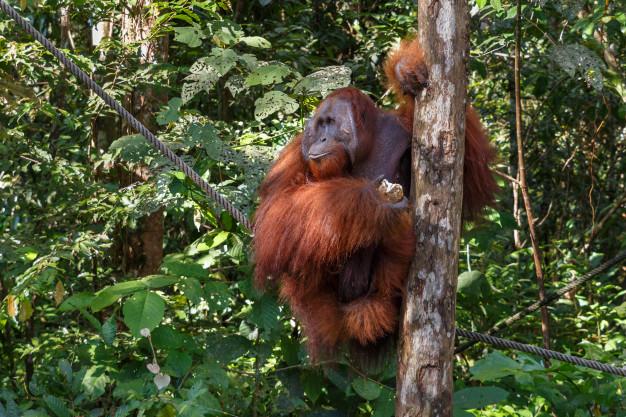 รายงานบัญชีแดงขององค์กรระหว่างประเทศเพื่อการอนุรักษ์ธรรมชาติ (IUCN) ระบุว่า อุรังอุตังทั้ง 3 สายพันธุ์ ได้แก่ บอร์เนียว (Bornean), สุมาตรา (Sumatran) และทาปานูลี (Tapanuli) อยู่ในเกณฑ์ใกล้สูญพันธุ์อย่างยิ่ง หลังได้รับผลกระทบจากการทำลายทรัพยากรป่าไม้ รวมถึงการแผ้วถางป่าเพื่อเพาะปลูกปาล์มน้ำมัน